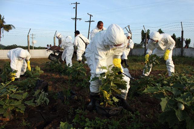 """Wandale z Greenpeace w akcji """"dekontaminacji"""" na polu bakłażana Bt (Los Banos, 2011)"""