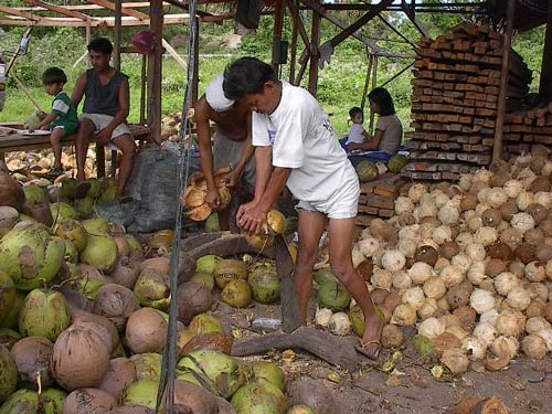 Coco farmers hit plans to use levy fund for agribusiness, landlord compensation