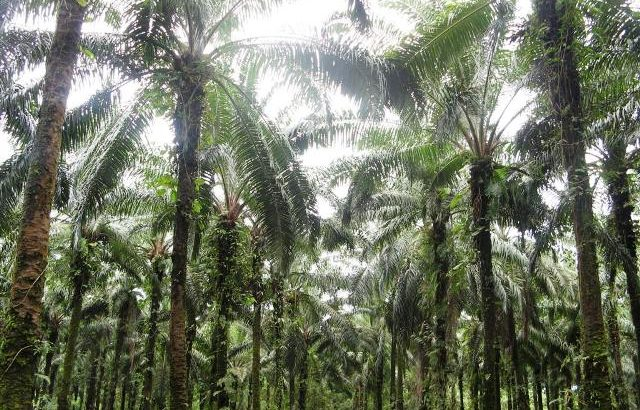 Another IP killed for having opposed palm oil plantation