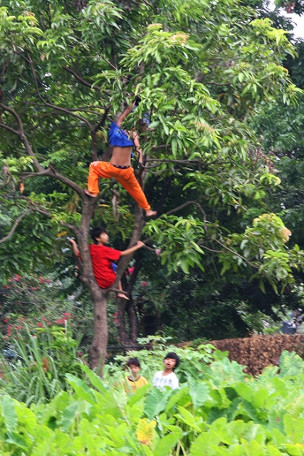 A gang invades a vacant lot, attacks a mango tree, and raids it of its fruits.  Summer is in swing, as fully as it can be in a blighted city.  (Barangay Commonwealth, Quezon City).