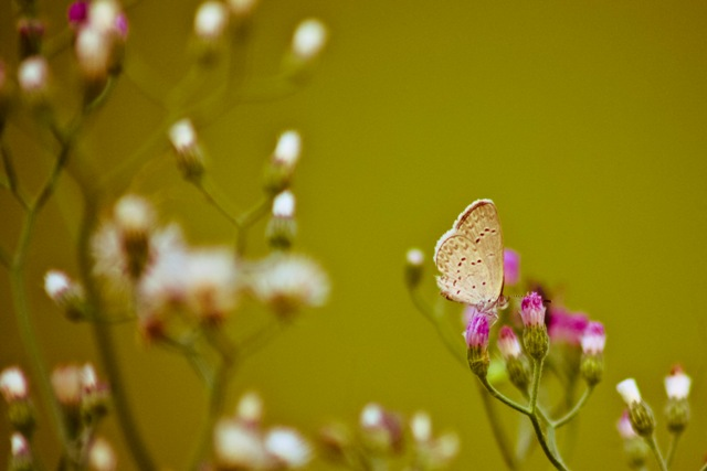 A butterfly savors the nectar from a flower. (UP Los Banos). (Photo by CLEMENTE BAUTISTA JR./ Bulatlat.com)