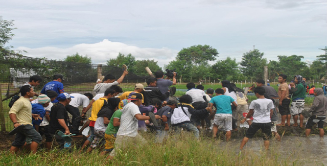 Farmers break through the wired fence of the Department of Agriculture (DA) compound to uproot golden rice plants . (Photo courtesy of Sikwal-GMO/ Bulatlat.com)