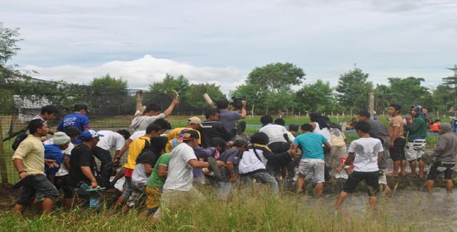 菲律宾人民拔掉转基因金水稻!支持一下!