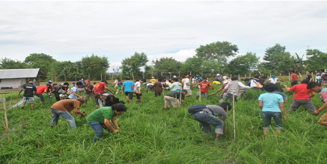 Farmers uproot golden rice plants in Pili, Camarines Sur. (Photo courtesy of Sikwal-GMO/ Bulatlat.com)