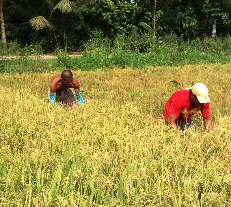 HARVEST OF GOLD. Farmers in Pigcawayan town in the province of North Cotabato enjoy their rice harvest after almost two years of pest infestation and inundation which limited their harvest yields. (davaotoday.com photo by Kenneth Jean Millondaga)