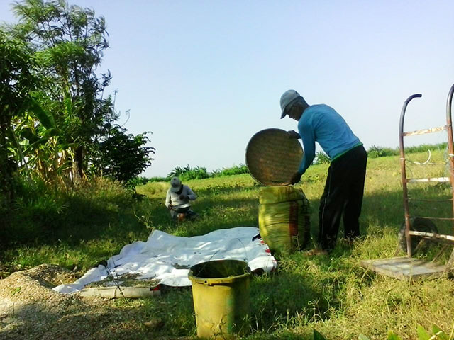 "Farmer Charlito ""Tatang Gerry"" Catalan and wife Dina, shown harvesting monggo from the piece of land they cultivate in Hacienda Luisita in this file photo from Bulatlat.com dated April 2014. Their home is among those reportedly destroyed by Cojuangco-Aquino goons in Barangay Mapalacsiao today."