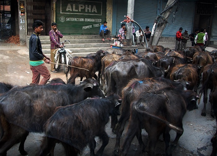 His flock stopped motor traffic for some minutes and it all seemed normal.  Kathmandu may be among the last of capital cities where herds can still take control of roads.  (Kathmandu, Nepal)
