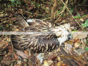 #PaalamPamana #SavePhilEagle (Photo from the Phiippine Eagle Foundation twitter account/PhilEagleFdn)