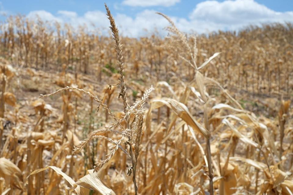 Dried crops due to dry spell in North Cotabato. (Photo by Tudla Productions)