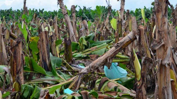 Lapanday: 15 hectares of bananas chopped by farmers cost $120K