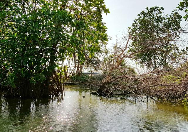 Taliptip mangrove