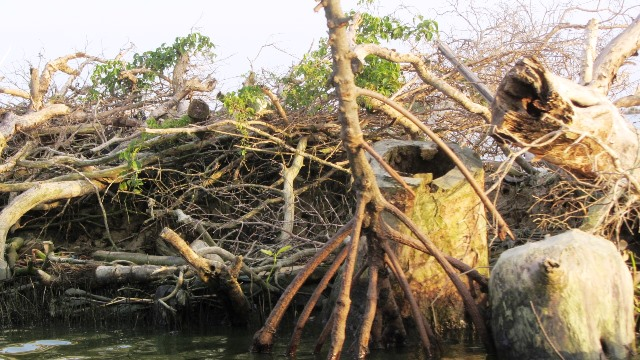 mangrove cut