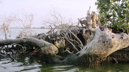 cutdown mangroves